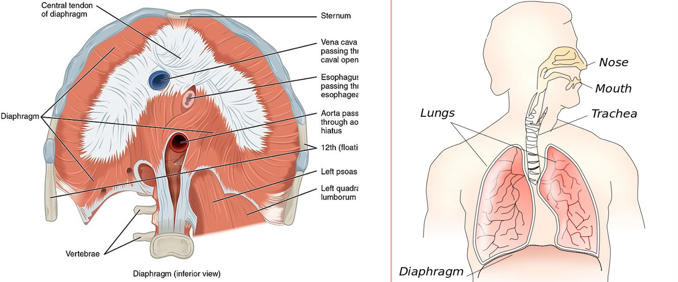 endometriosis-of-the-lungs-chest-diaphragm-upper-abdomen