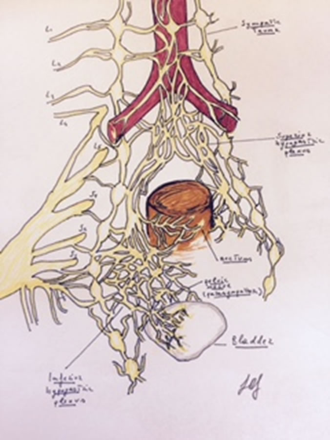 The nervous plexus- illustrating the complex innervation of the pelvis